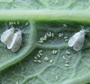 Weiße Fliegen auf einem Blatt