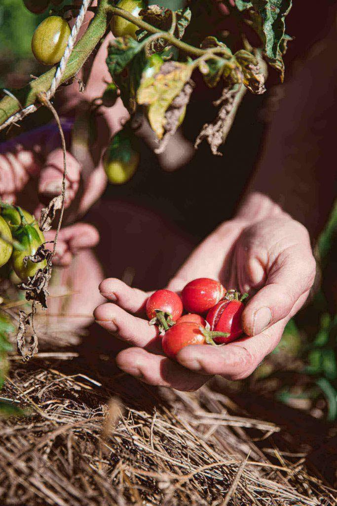 rote Cherry-Tomaten in Hand